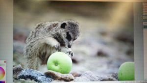 Meerkat original