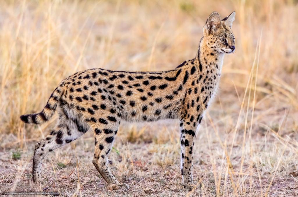 Serval (Original)